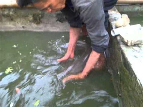 Ikan Aligator Spatula aligator mp4