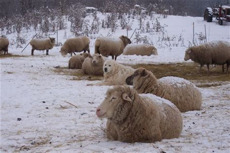 sheep guard dogs opinions on livestock guardian