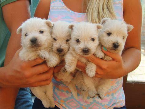 white terrier puppy west highland white terrier puppies ashbourne derbyshire pets4homes