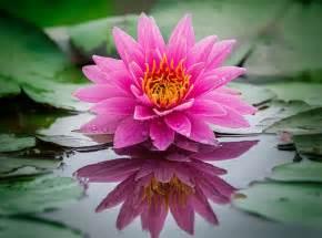 Lotus La Fleur De Lotus Et Bouddhisme Savdana