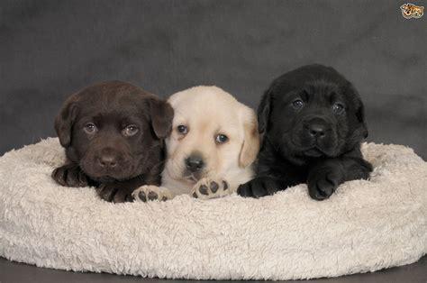 labrador retriever puppies colorado predicting the colour of labrador retriever puppies pets4homes