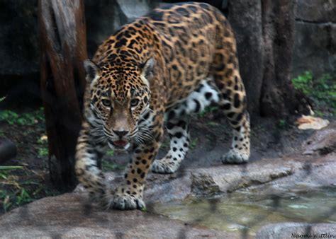 jaguar huntington jaguar