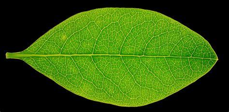 high resolution maple leaf deviantart high res leaf texture by hhh316 on deviantart
