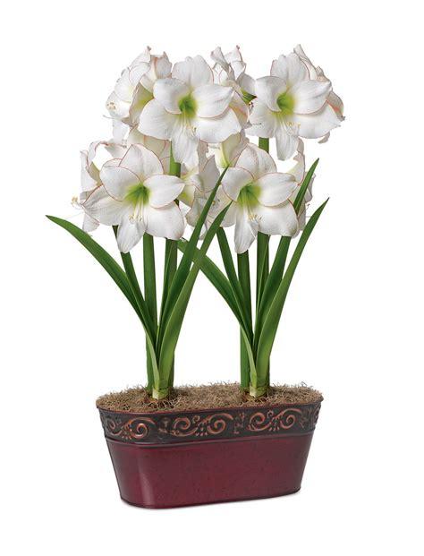 picotee potted amaryllis duo white amaryllis with red edges
