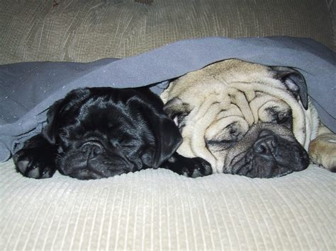 bed pugs pugpugpug com how to get my one year old pug to sleep in