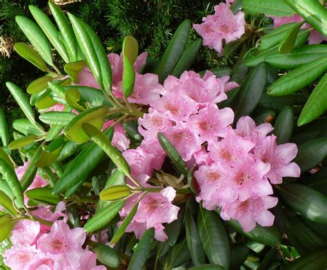 large rhododendron varieties