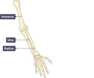 You need to be able to identify the main bones in the human arm