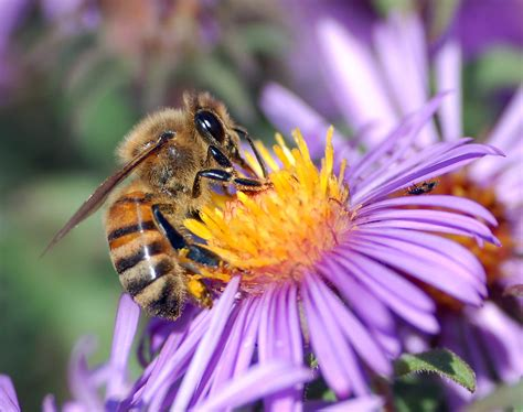 file european honey bee extracts nectar jpg