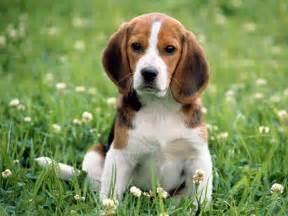 bluetick coonhound hunting training pics photos beagle puppy wallpaper
