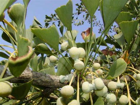 Pohon Ginseng ginkgo biloba ginseng benefits