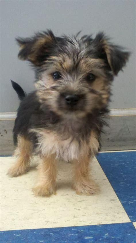 yorkie cross maltese maltese terrier cross puppy yelp