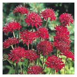 Fragrant Rose Plants - 25 red scabiosa pincushion flower seeds perennial ebay