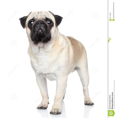pug white background pug on white background stock image image 27778391