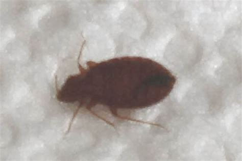 dead bed bug images dead bed bugs