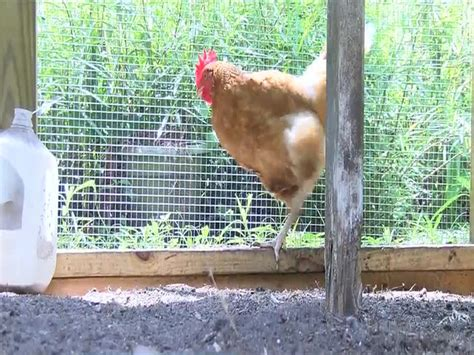 cdc salmonella infections linked to backyard flocks of