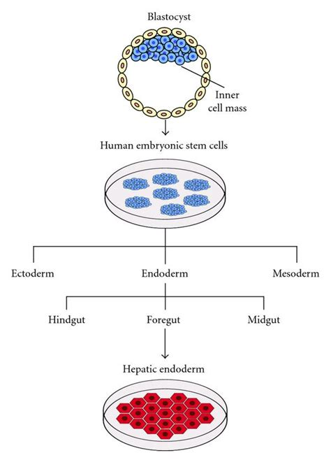 bioreactor cell culture protocol three dimensional culture of human embryonic stem cell
