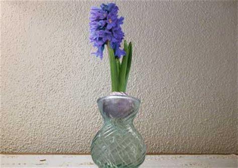 bulbi di giacinto in vaso la forzatura in acqua giacinto florablog