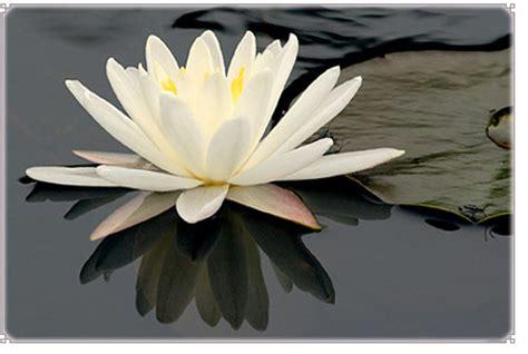 fior di loto foto fiori piante e giardini mondo fior di loto pianta