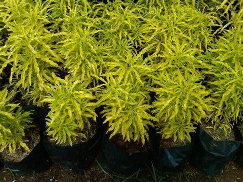 nama latin tanaman hias brokoli kuning brainlycoid