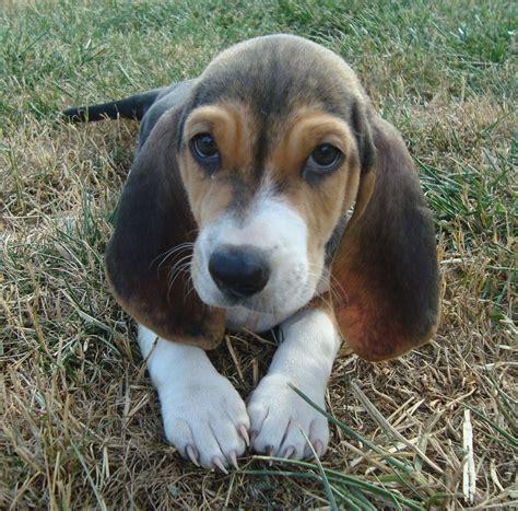 Cute Basset Artésien Normand puppy photo and wallpaper ...