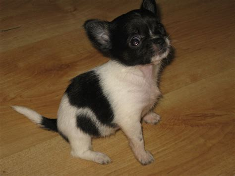 black and white chihuahua puppies black and white dogs for adoption breeds picture