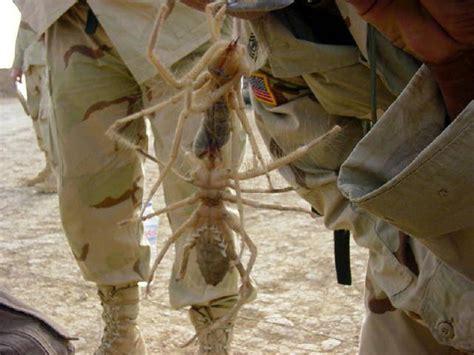 Marine eats a camel spider. : WTF