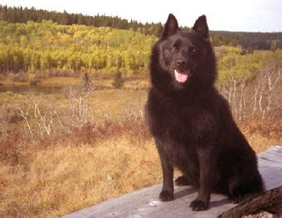 Large Breed No Shed Dogs by Best Large Non Shedding Dogs For