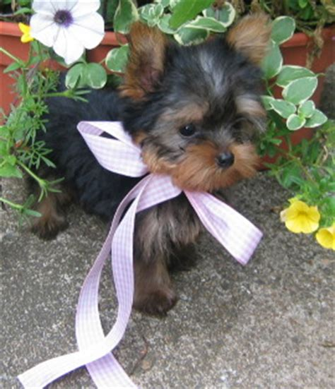 yorkie puppies for sale in indianapolis puppies for sale in indiana petsale inc