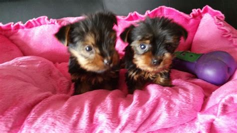 pictures of puppys teacup terrier puppys ripley derbyshire pets4homes
