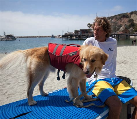 golden retriever puppy age progression hobie hobie the learns to sup in one day