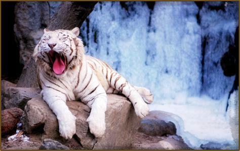 imagenes fondo de pantalla tigre imagenes de tigres como fondo de pantalla archivos