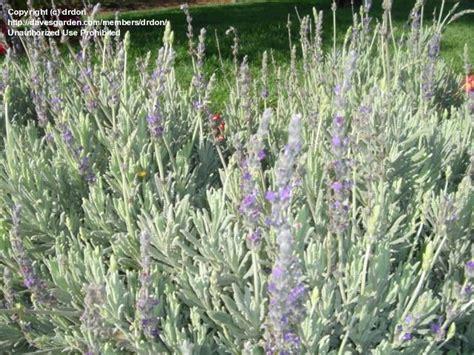 Lavender Creek plantfiles pictures lavandula hybrid lavender goodwin creek grey lavandula by drdon