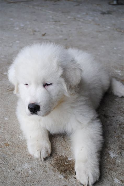 great pyrenees puppies michigan beechtree farm great pyrenees