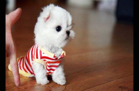 maltese price the origin of teacup maltese dogs how to care them