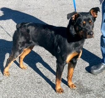 rottweiler doberman pinscher mix doberman pinscher and rottweiler www pixshark images galleries with a bite