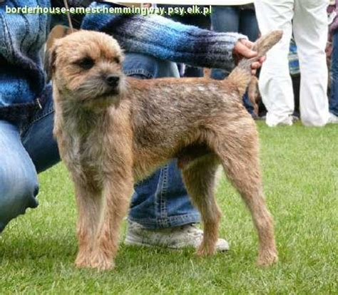 border terrier zdjecia breeds picture