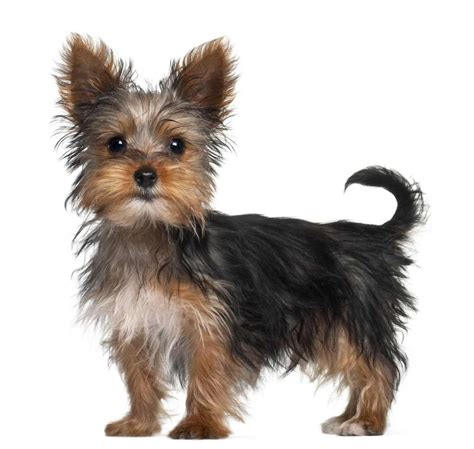 black yorkie puppy terrier breed 187 information pictures more