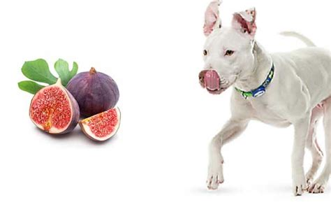 can dogs eat figs can dogs eat figs are figs bad or for dogs alldogsworld