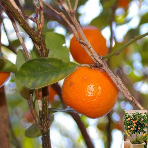 a fruit is most commonly thai citrus
