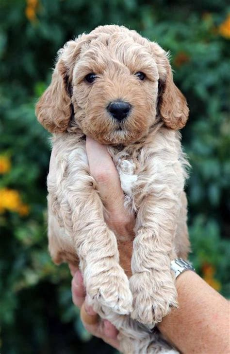 labradoodle puppies az doodles labradoodle puppies for sale australian labradoodle puppies for