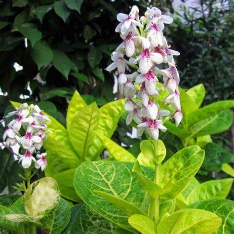 Tanaman Hias Melati Rombusamelati Cina mengenal jenis bunga melati jepang dan cara membudidayakannya alam pedia