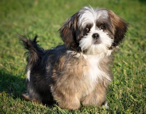 shih tzu names and meanings puppy wallpapers slideshow