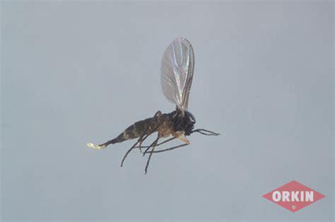 gnats in backyard image gallery mold flies
