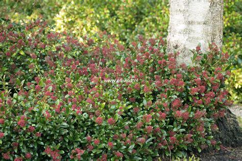 skimmia japonica rubinetta abbildung und beschreibung skimmia japonica rubinetta