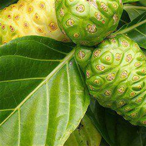 Tanaman Buah Mengkudu hati mandiri manfaat buah mengkudu