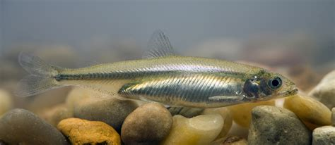 california drought and the delta smelt hydrowonk blog