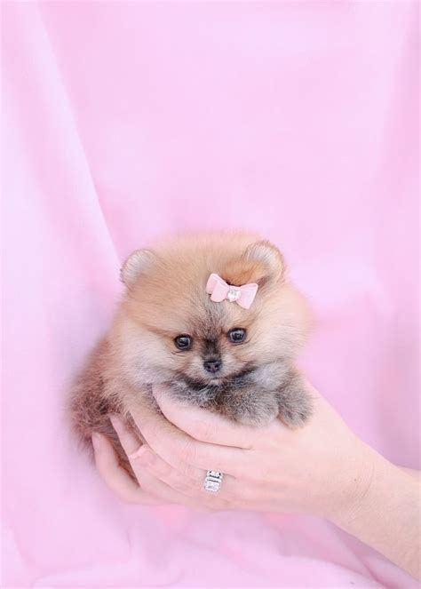 how to take care of a teacup pomeranian 25 best ideas about teacup pomeranian on teacup pomeranian puppy teacup