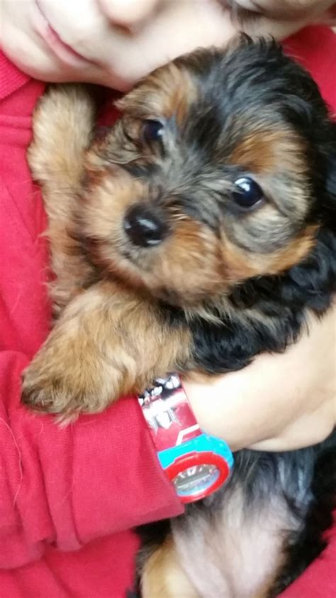 yorkie puppies for sale essex terrier puppies for sale romford essex pets4homes
