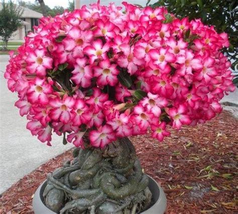 perbedaan adenium dengan bunga kamboja bibitbunga
