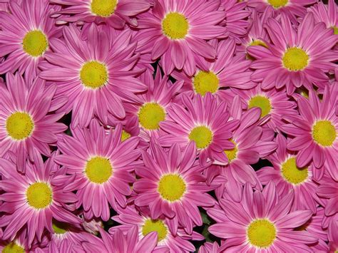 Batu Madu lizjournal air bunga bunga chrysanthemum